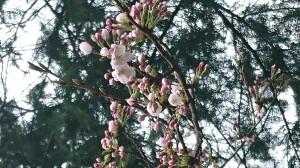 蛭子神社桜